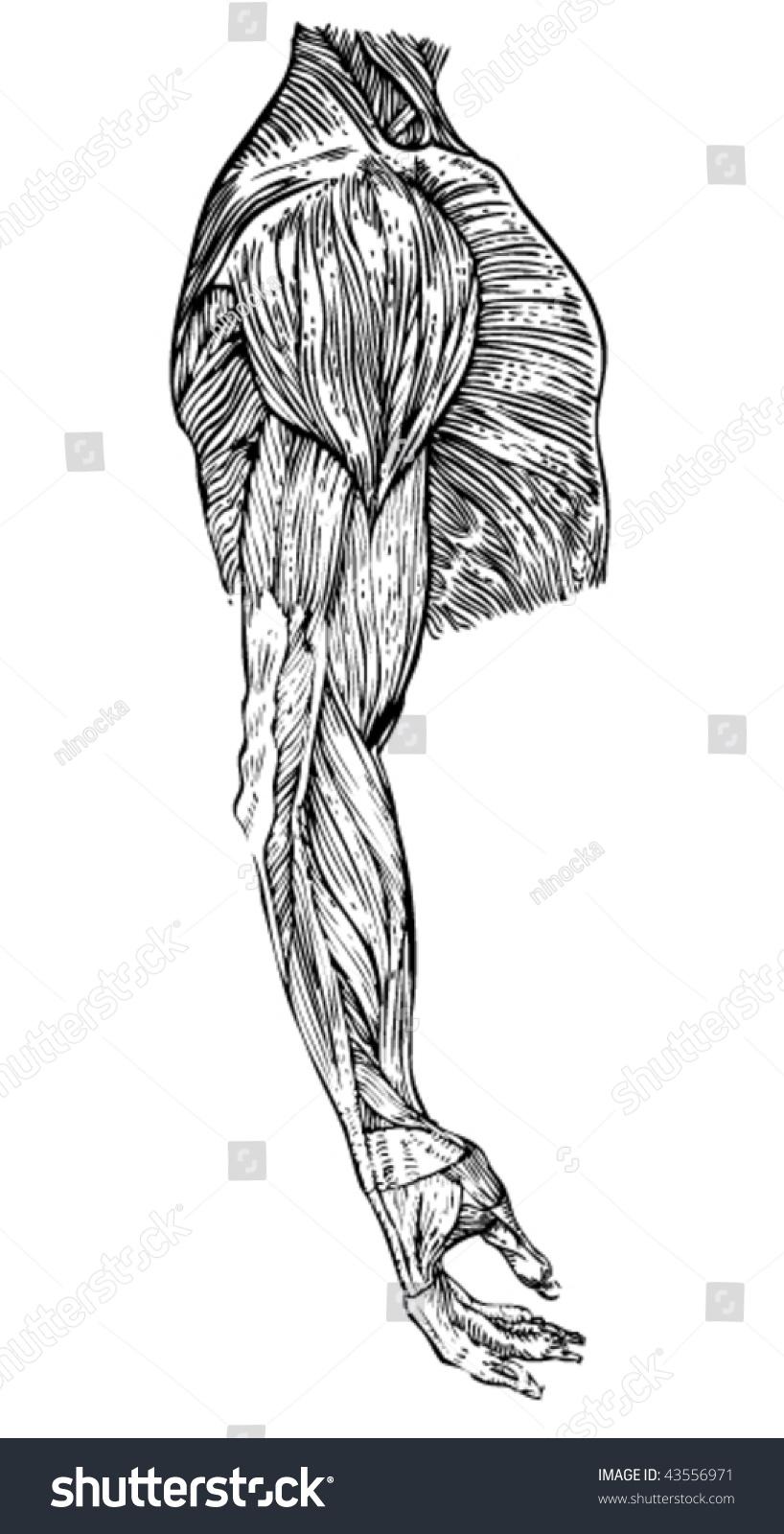 Stock Vector Illustration Human Anatomy Study Stock Vector Royalty