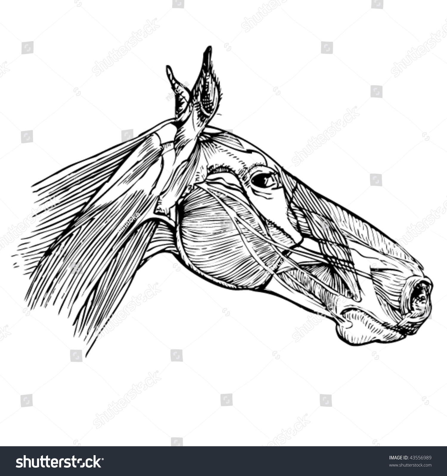 Stock Vector Illustration Study Drawing Horse Stock Vector (Royalty ...