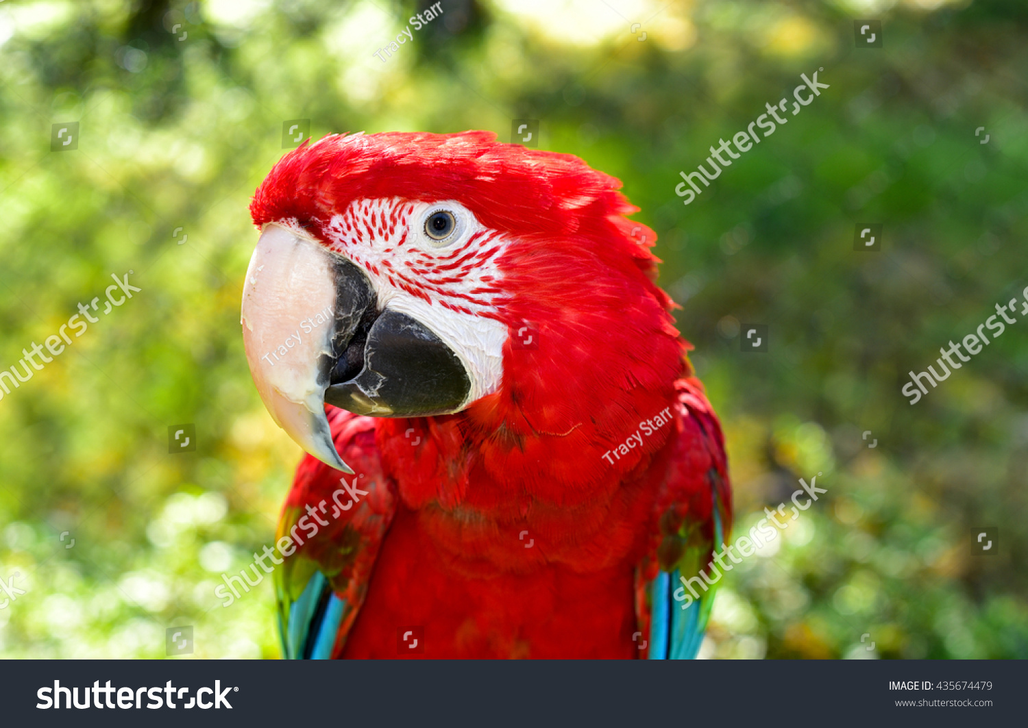 Beautiful Birds Scarlet Macaw Redandgreen Macaw Stock Photo ...