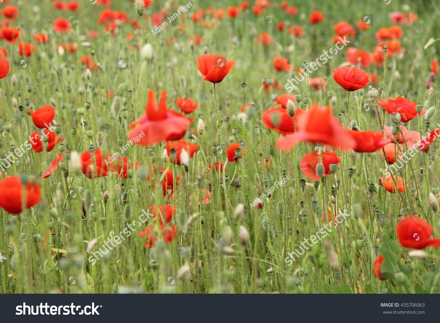 The Flowers Of The Common Or Field Poppy Papaver Rhoeas Ez Canvas