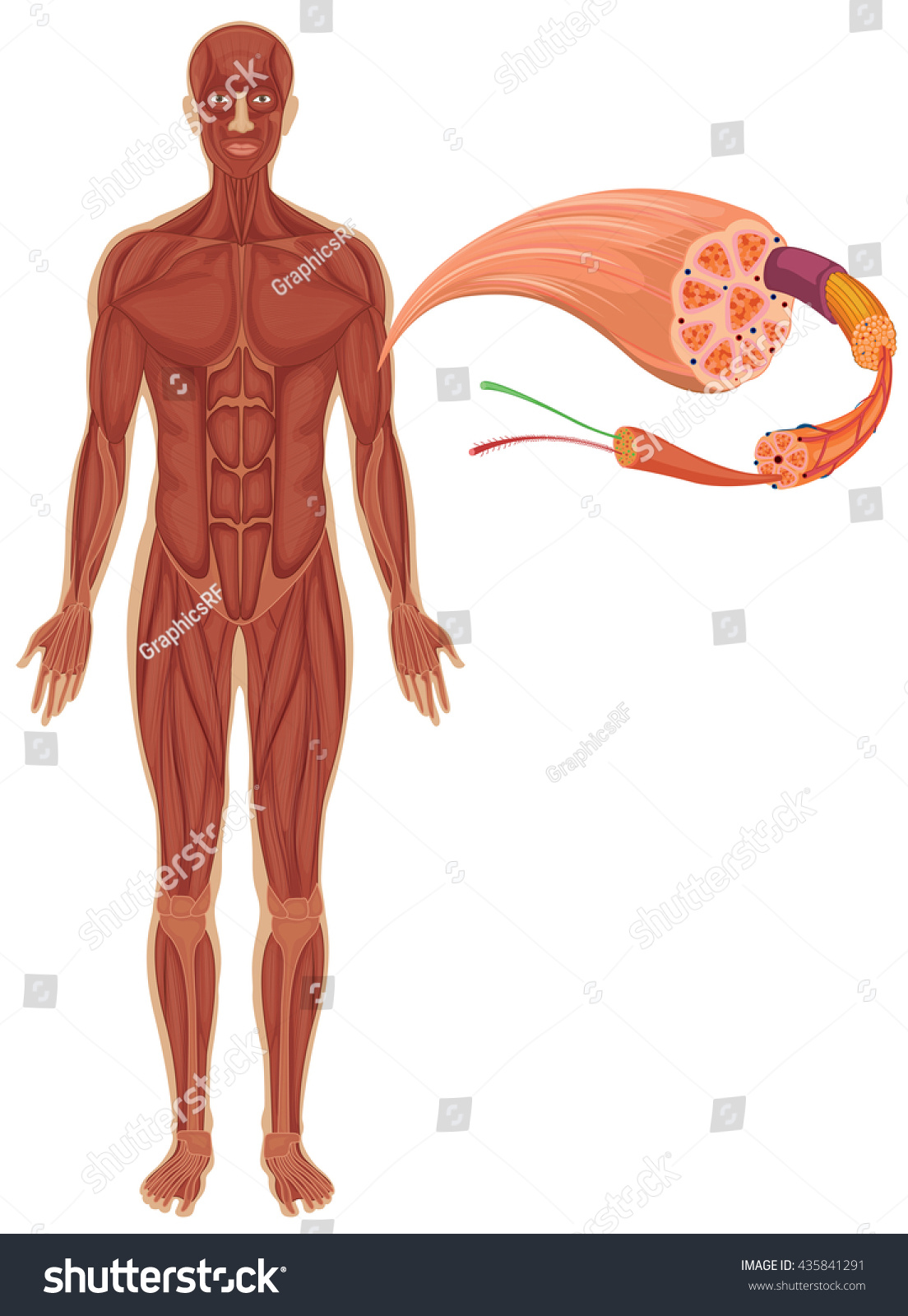 Illustration Graphics Contest Full Body Muscle Diagram For Wire Admin Anatomy System Human And Chart Images Stock Vector 435841291 Shutterstock Rh Com