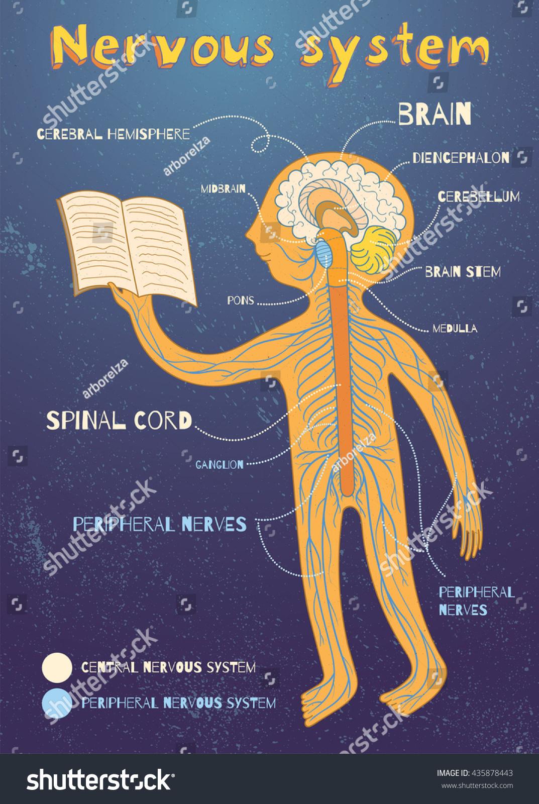 Human Nervous System Kids Vector Color Stock Vector ...
