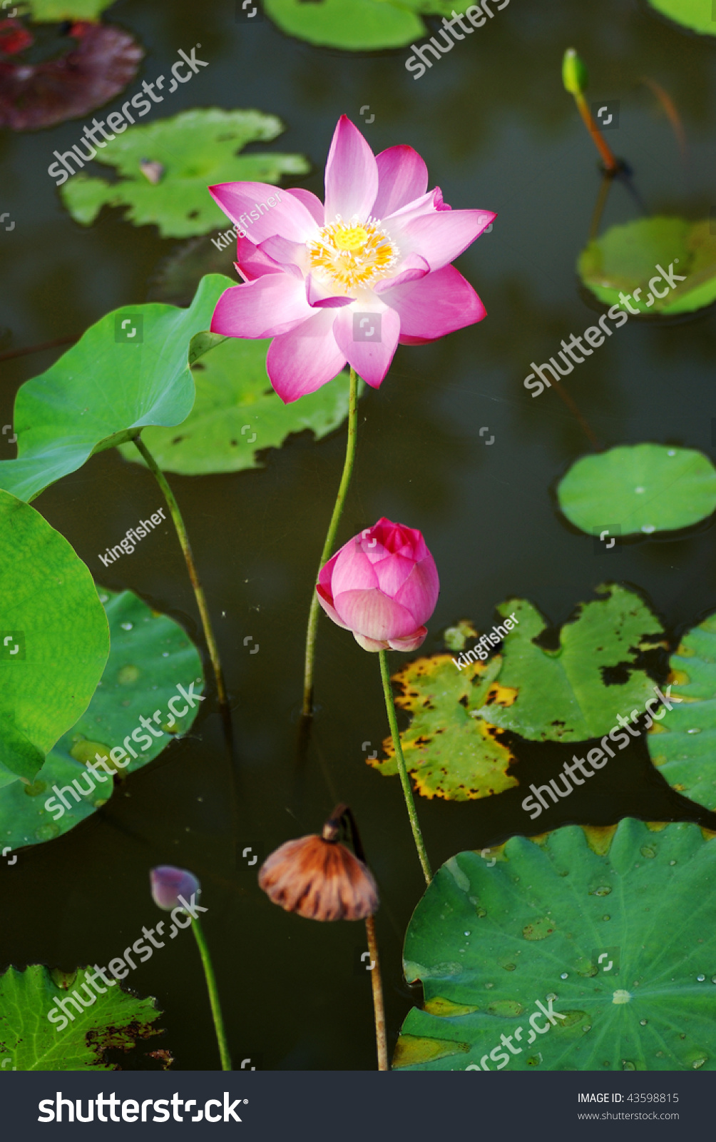 3 Stages Lotus Life Cycle Stock Photo Edit Now 43598815 Shutterstock