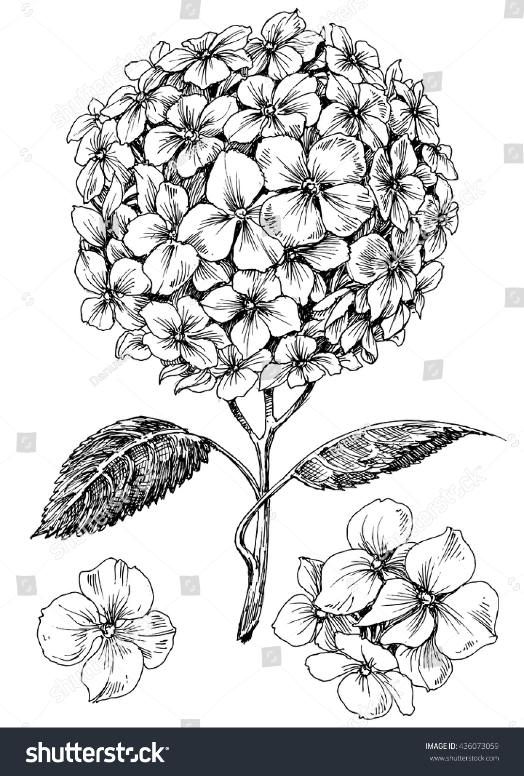 Hydrangea flower coloring pages - Hydrangea Flower Set Hand Drawn Detailed Hortensia