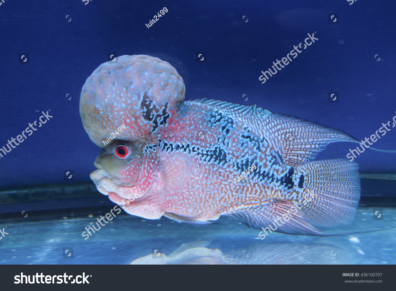 Fish in big aquarium - Flowerhorn Big Head Big Kok Cichlid Fish In Tank Water Aquarium With Blue Background