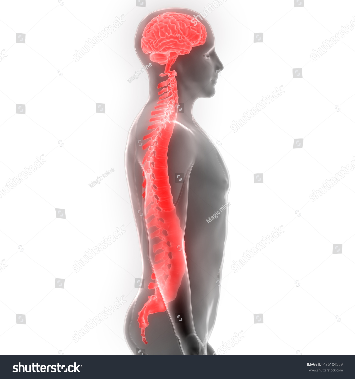 Brain Spinal Cord Anatomy 3 D Stock Illustration 436104559 ...