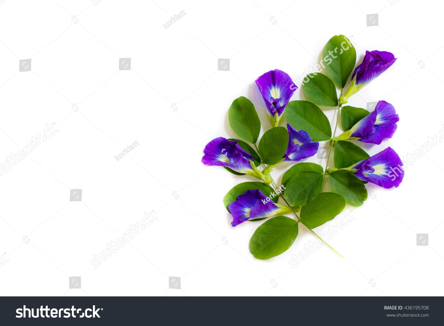 Butterfly Pea Beautiful Purple Flowers Group Stock Photo Royalty