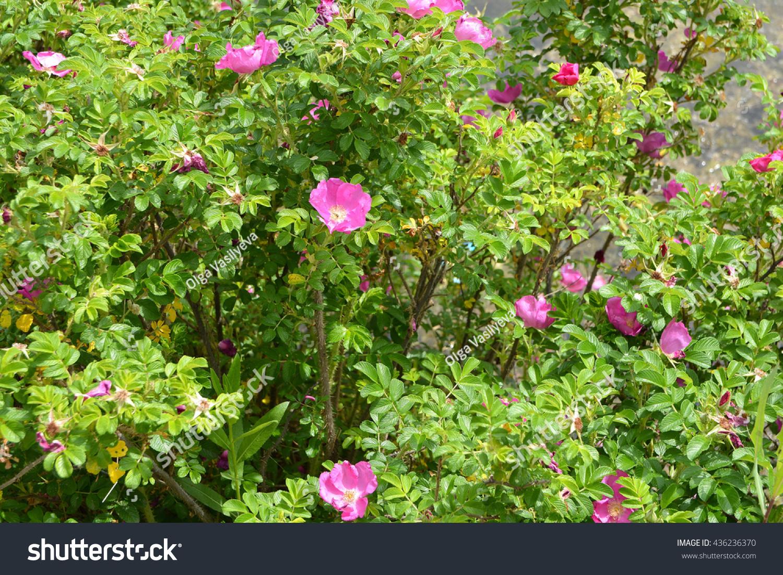 Green Wild Rose Bush Pink Flowers Stock Photo Edit Now 436236370