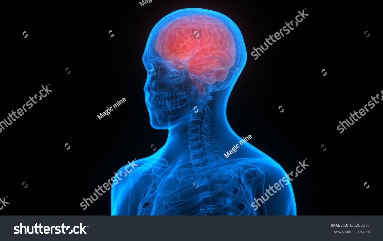 Human Brain Anatomy 3 D Stock Illustration 436265077 - Shutterstock