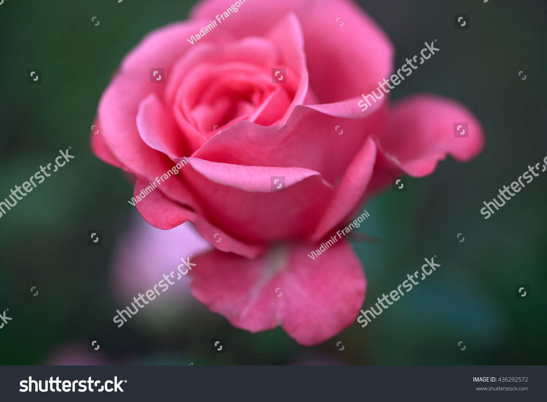 Beautiful flowers russian crimea stock photo royalty free beautiful flowers russian crimea izmirmasajfo