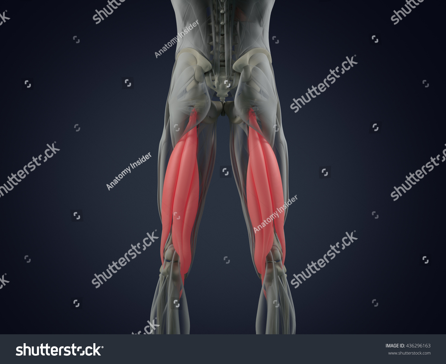 Hamstring Muscle Group Human Anatomy Muscle Stock Illustration ...
