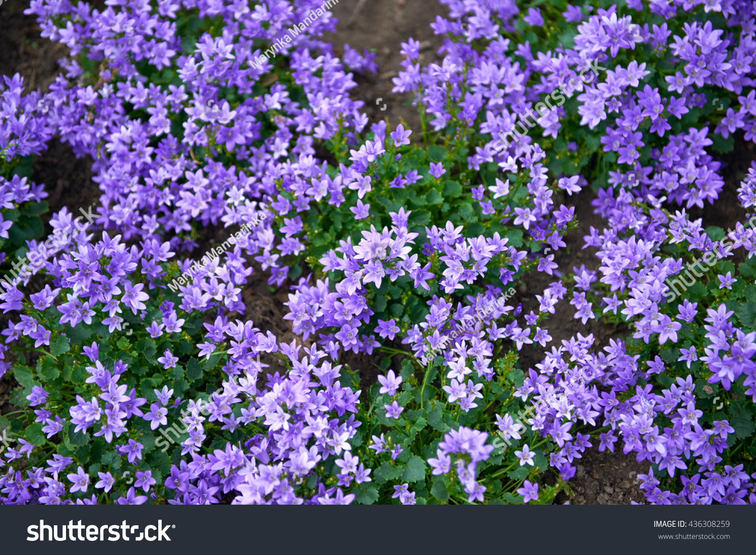 Flowers Lilac Bells Nature Background Flowers Background With