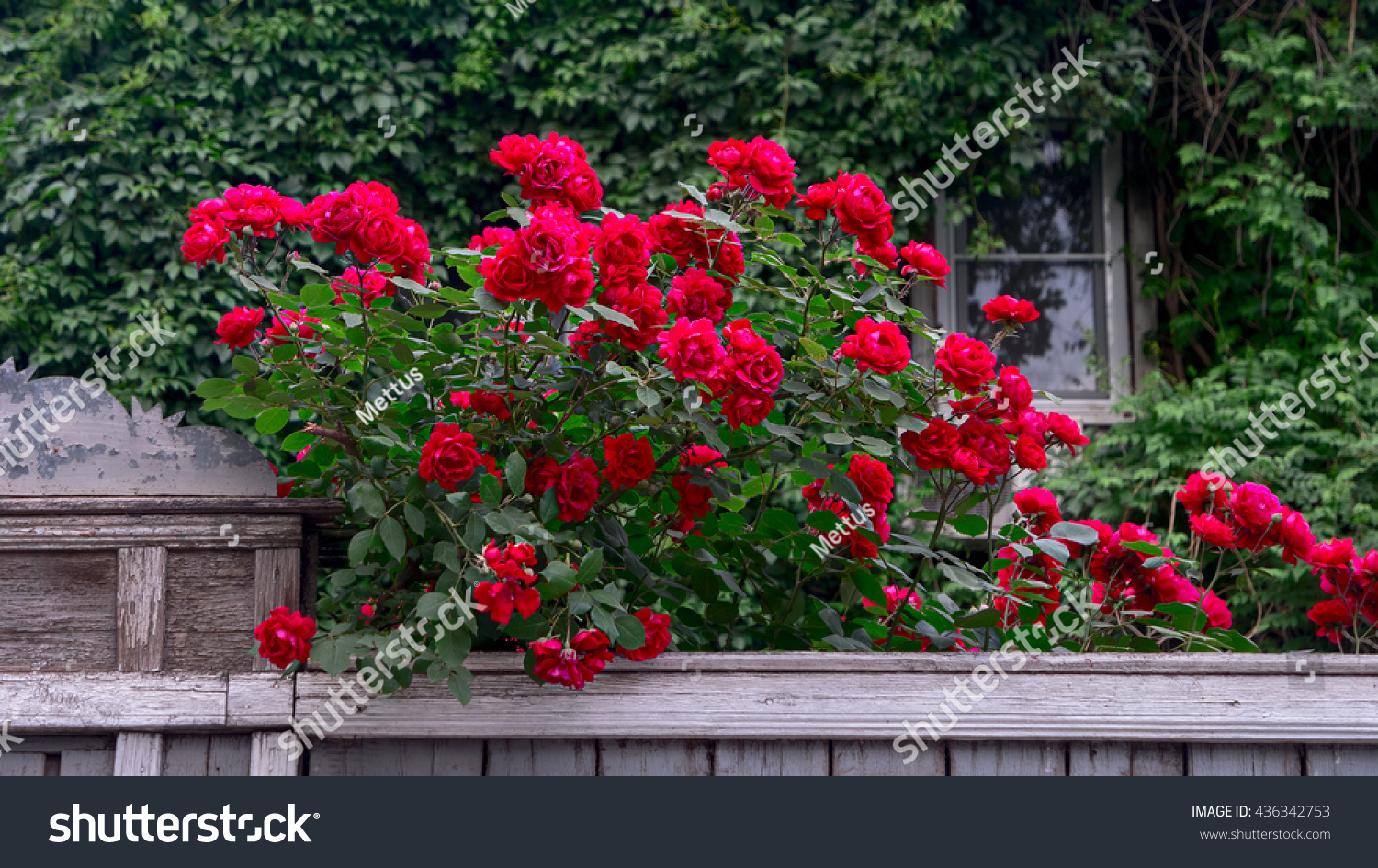 stock-photo-rich-red-roses-over-wooden-f