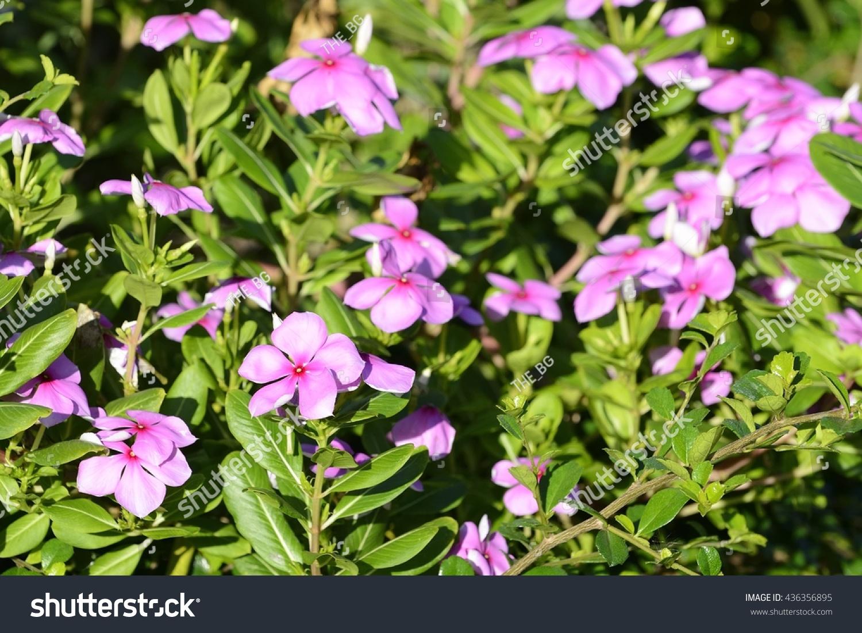 Vinca Flower Ez Canvas