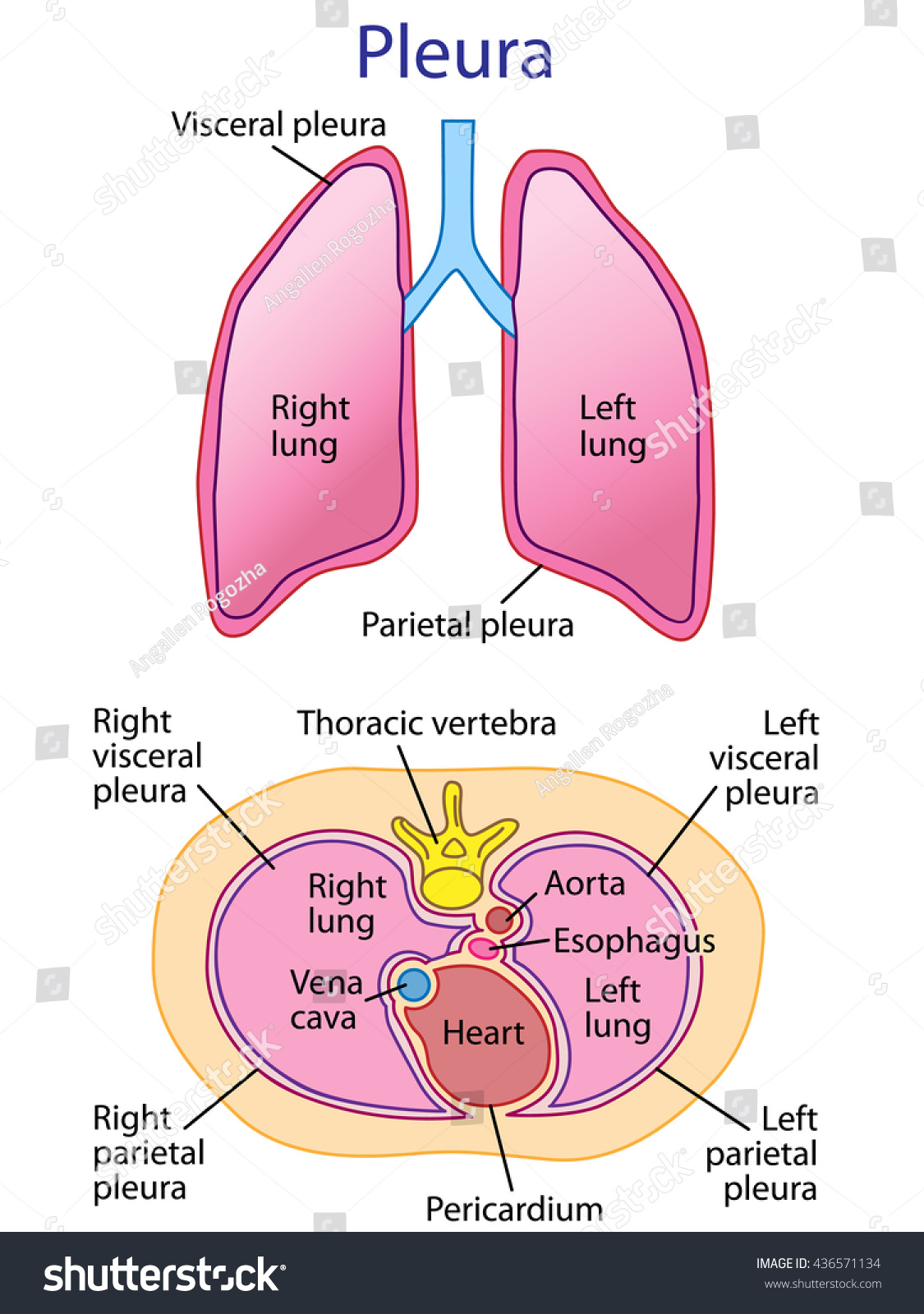 Lungs trachea bronchi detail chest wall stock illustration the lungs trachea and bronchi detail of chest wall and pleurae pooptronica Images