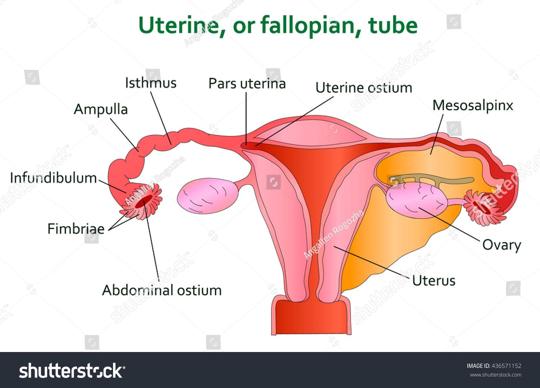 Anatomy of ovary and fallopian tube