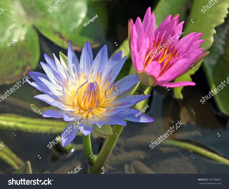 Nymphaea Caerulea Blue Lotus Flower On Stock Photo Edit Now