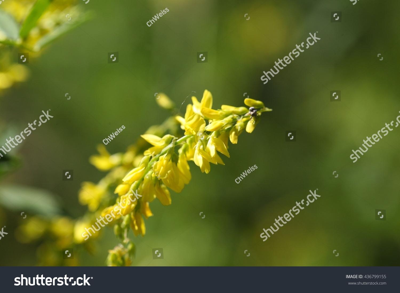Macro Photo Yellow Sweet Clover Flowers Stock Photo Edit Now