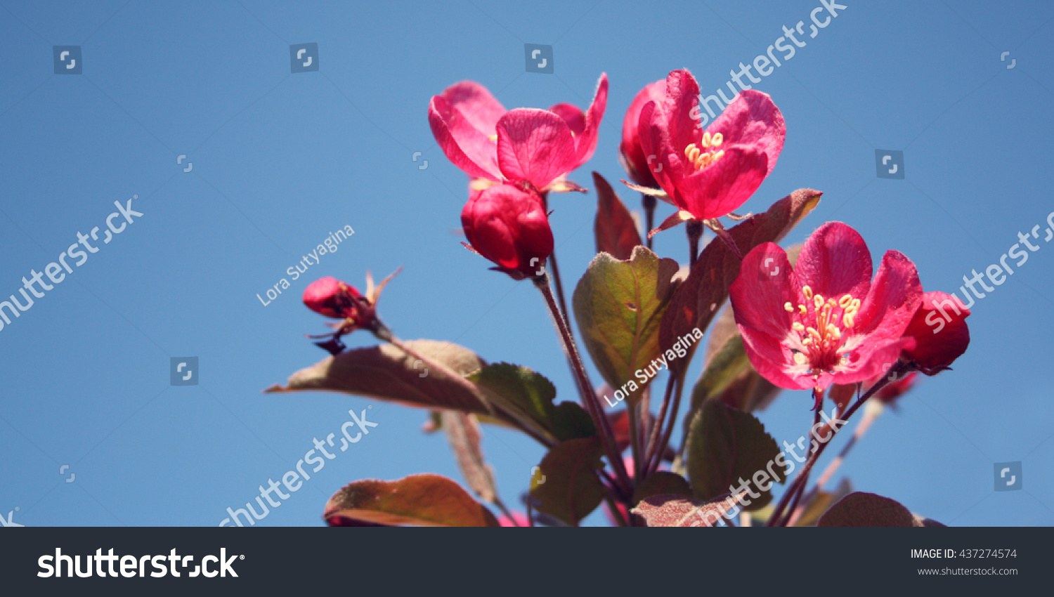 Pink Apple Flowers Bloom Spring Aged Stock Photo Download Now