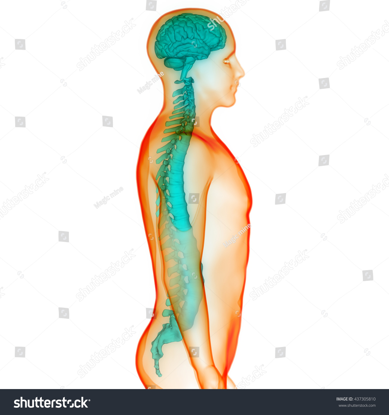 Brain Spinal Cord Anatomy 3 D Stock Illustration 437305810 ...