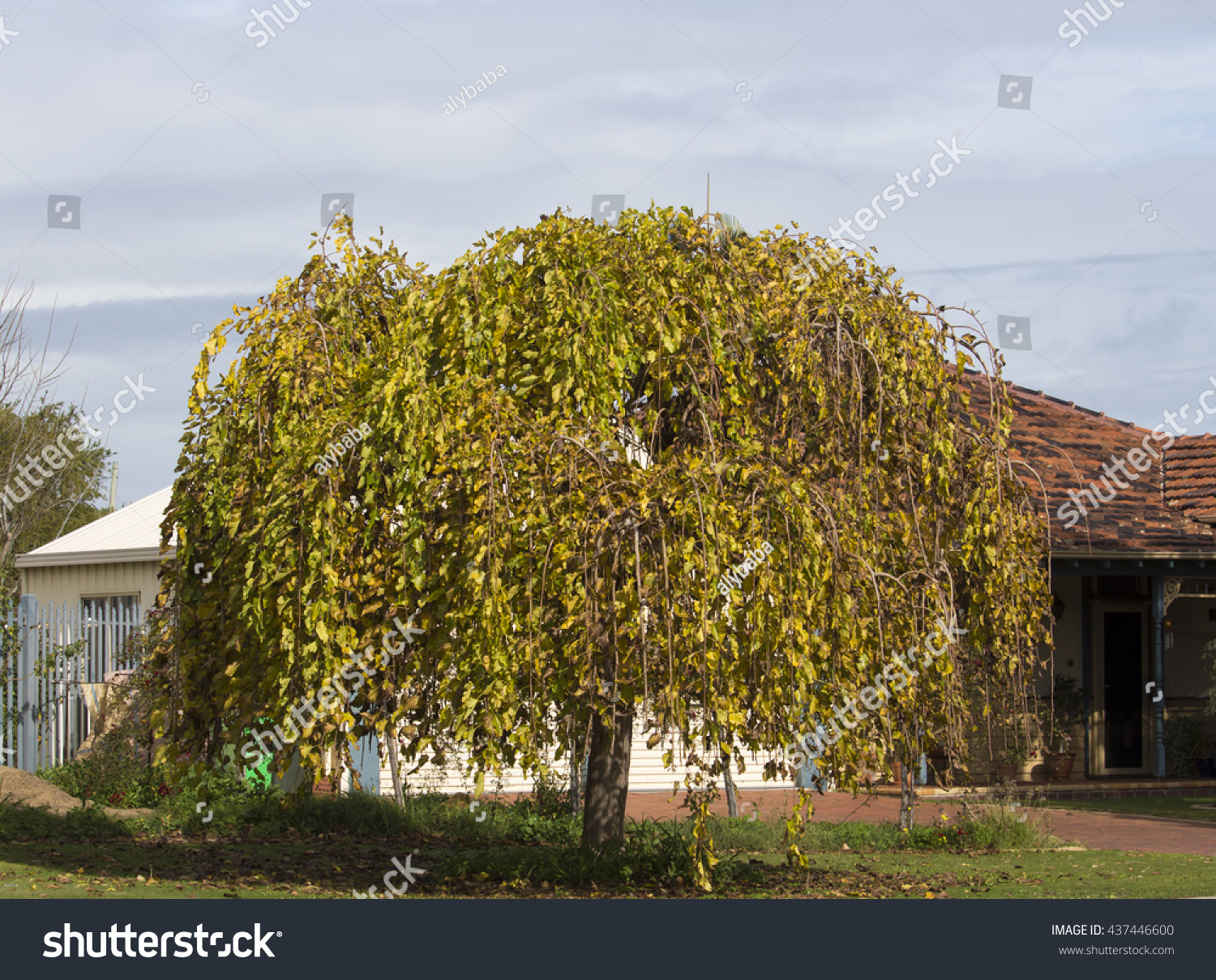 morus alba pendula weeping mulberry tree stock photo. Black Bedroom Furniture Sets. Home Design Ideas