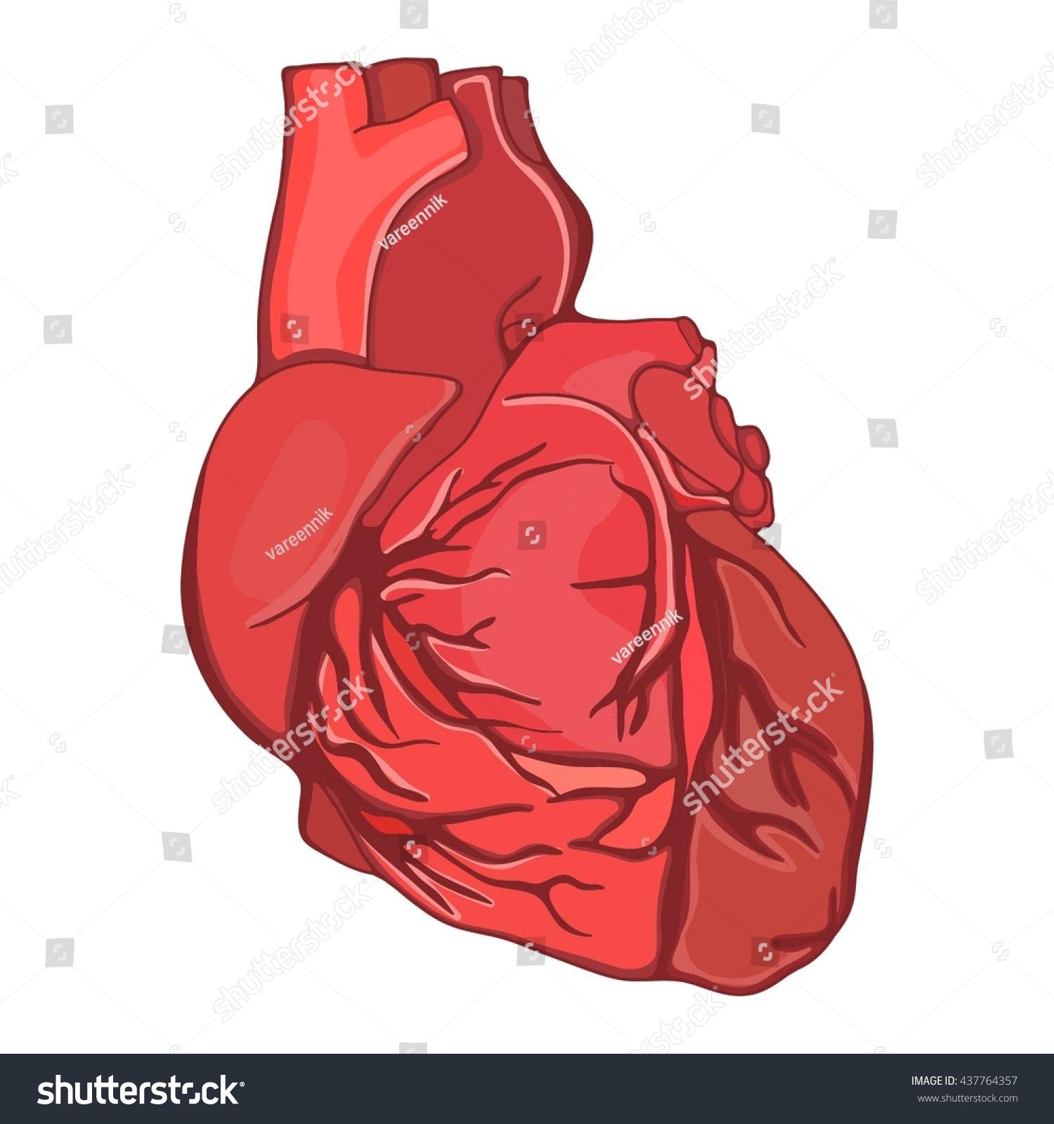 Vector Heart Human Organ Human Anatomy Stock Vector Royalty Free