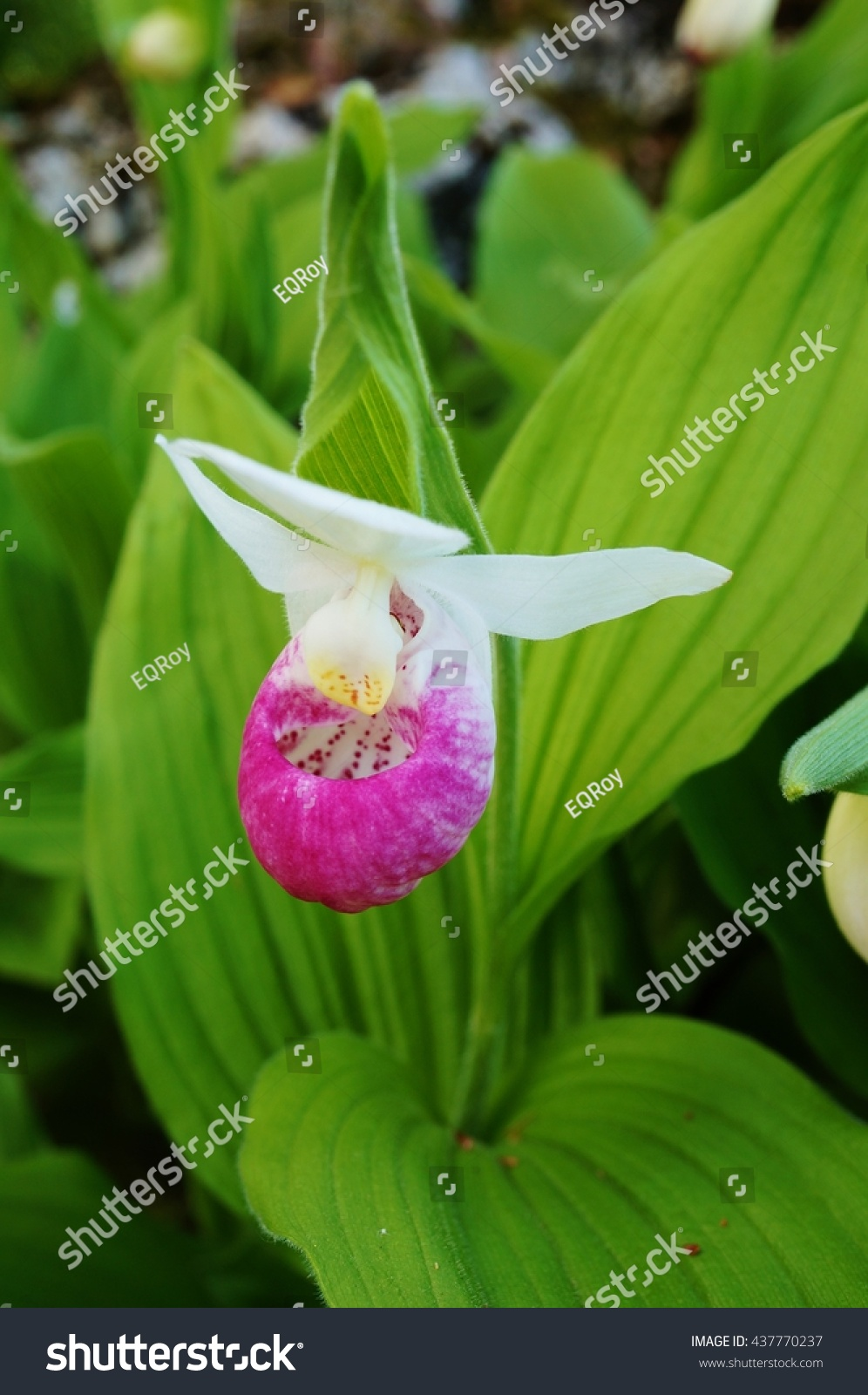 Pink White Lady Slipper Orchid Flower Stock Photo Edit Now