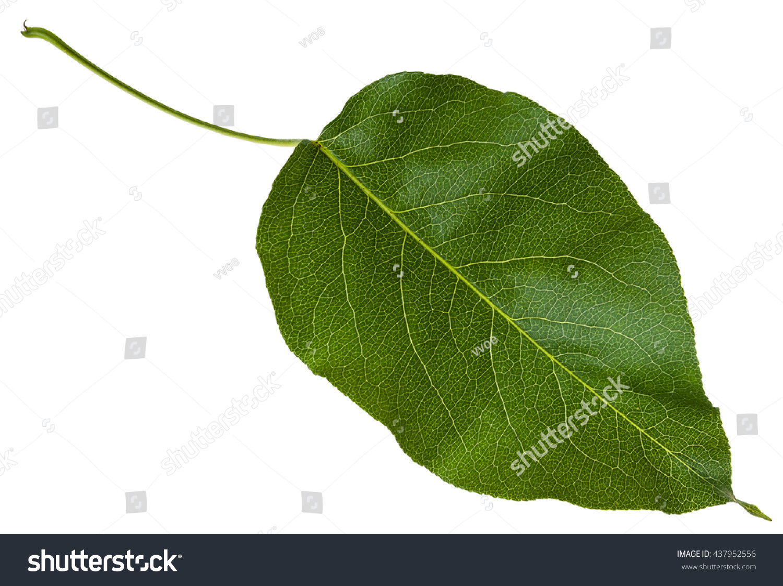 Green Leaf Malus Tree Crabapple Crab Stock Photo Edit Now