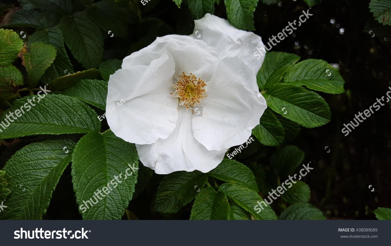 White Shrub Rose Named Cassie Yellow Stock Photo (Royalty Free ...
