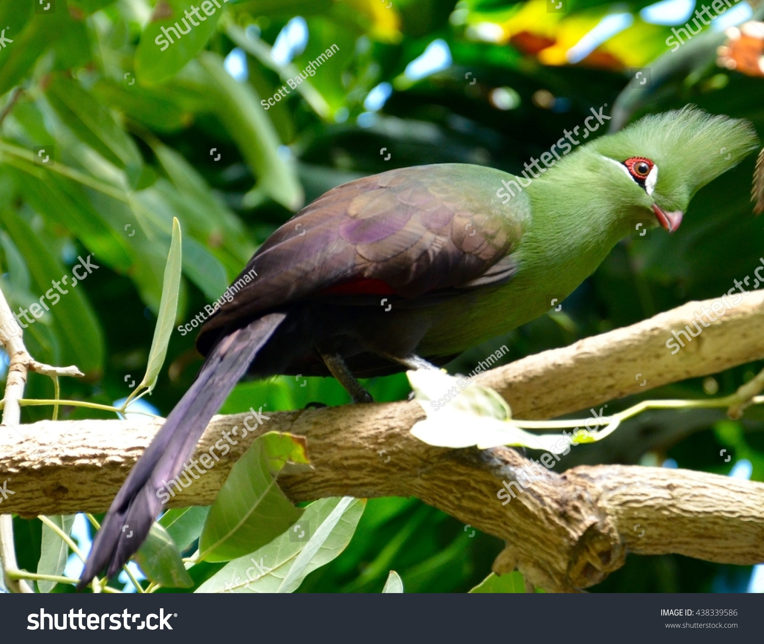 Turaco Bird on a branch #438339586