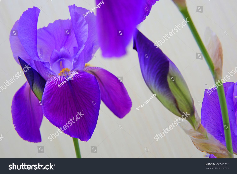 Soft Purple Flower Petals On Open Stock Photo Edit Now 438512251
