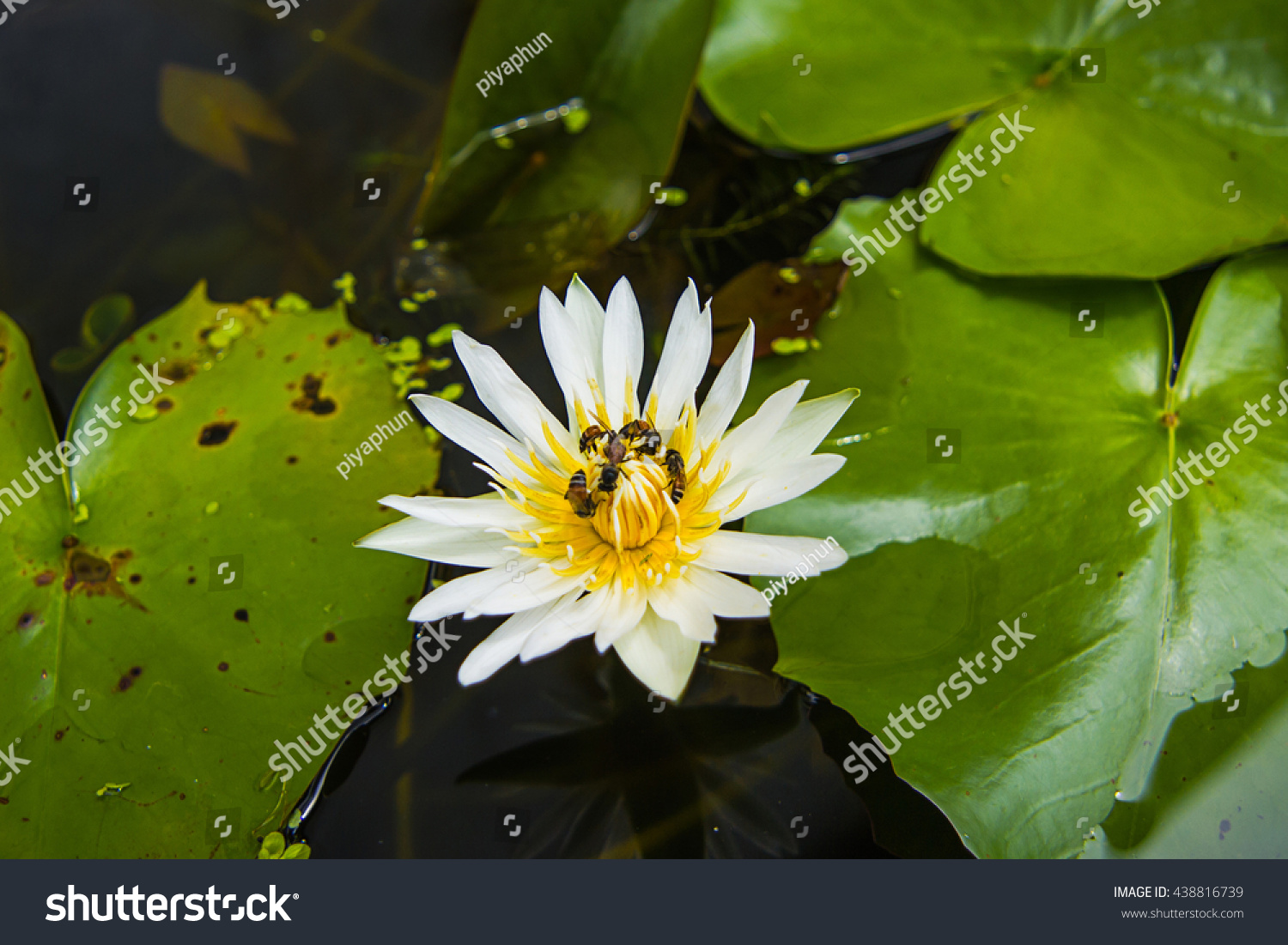 Bees And Lotus Flowers Eating Bee Pollen Ez Canvas