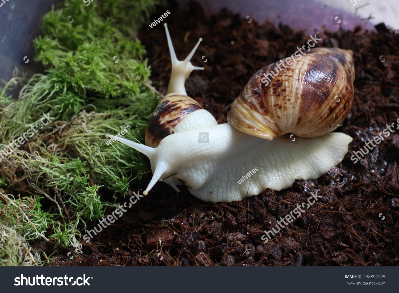 White Albino Snail Achatina Terrarium Stock Photo Edit Now 438892198