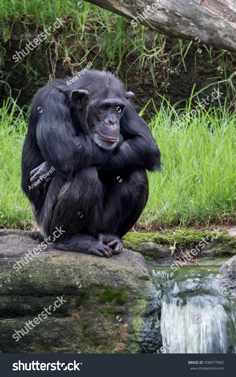 Chimpanzee stock image. Image of animal, intelegent, black ...  |Chimp Sitting