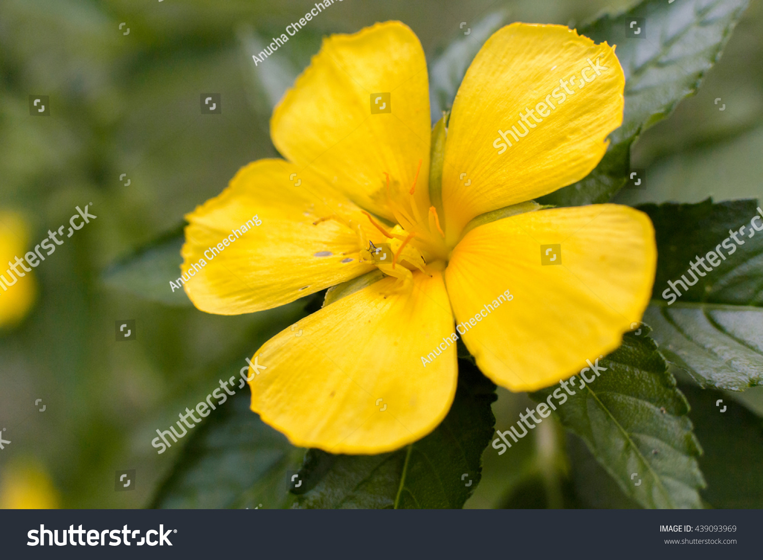Yellow Flower On Isolated Background Ez Canvas