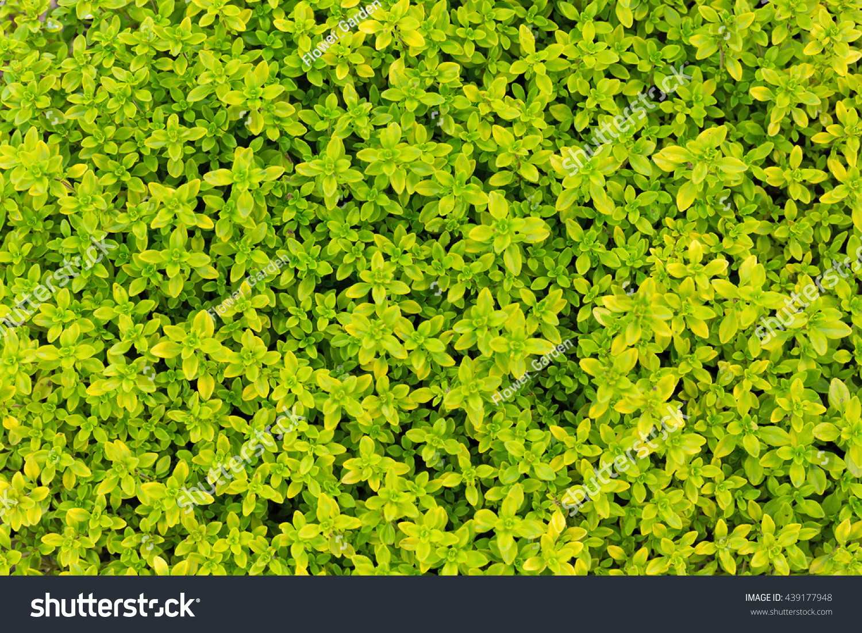 Selenourea Foliage Thyme Thymus Citriodorus Sort Stock Photo Edit