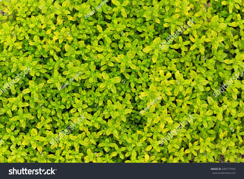 Selenourea Foliage Thyme Thymus Citriodorus Sort Stock Photo