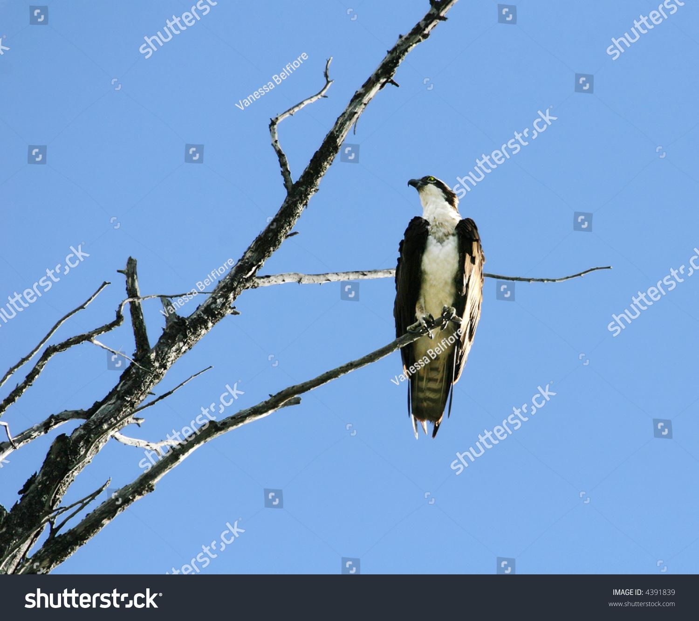 Osprey Fierce North American Bird Prey Stock Photo Edit Now 4391839