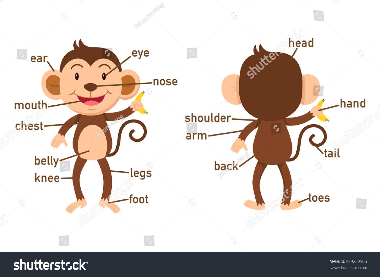 Illustration Monkey Vocabulary Part Body Stock Vector Royalty Free