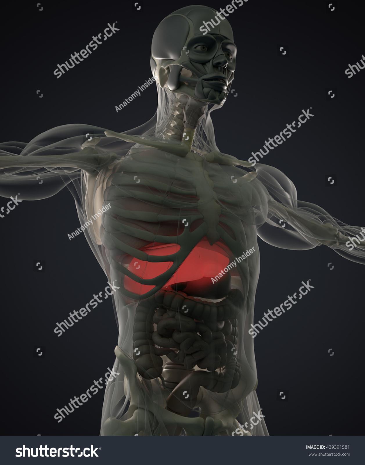 Human Anatomy Liver Xray Like View Stock Illustration 439391581