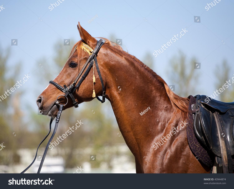 Portrait Chestnut Arabian Horse Bridle Saddle Foto De Stock Editar Ahora 43944874