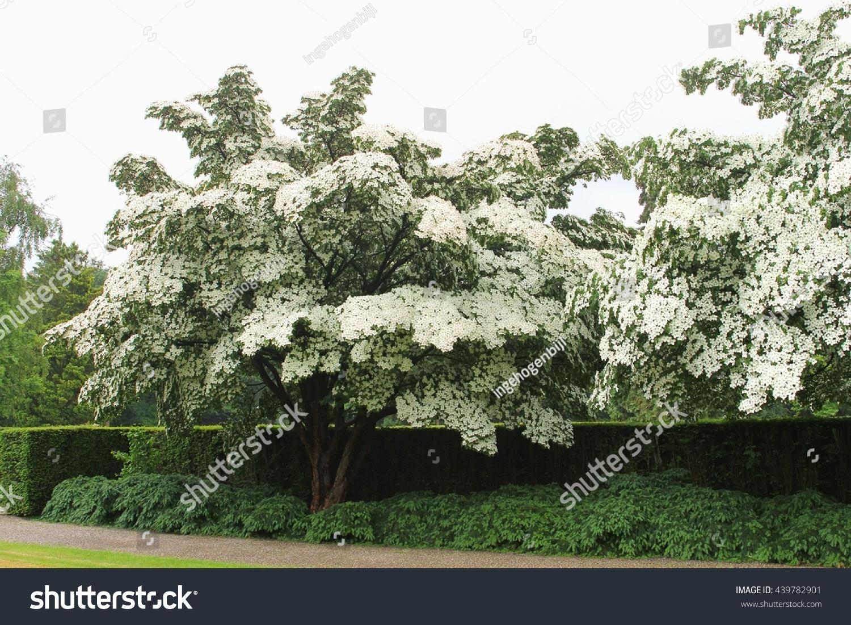 Abundant Flowering Dogwood Trees Cornus Kausa Stock Photo & Image ...