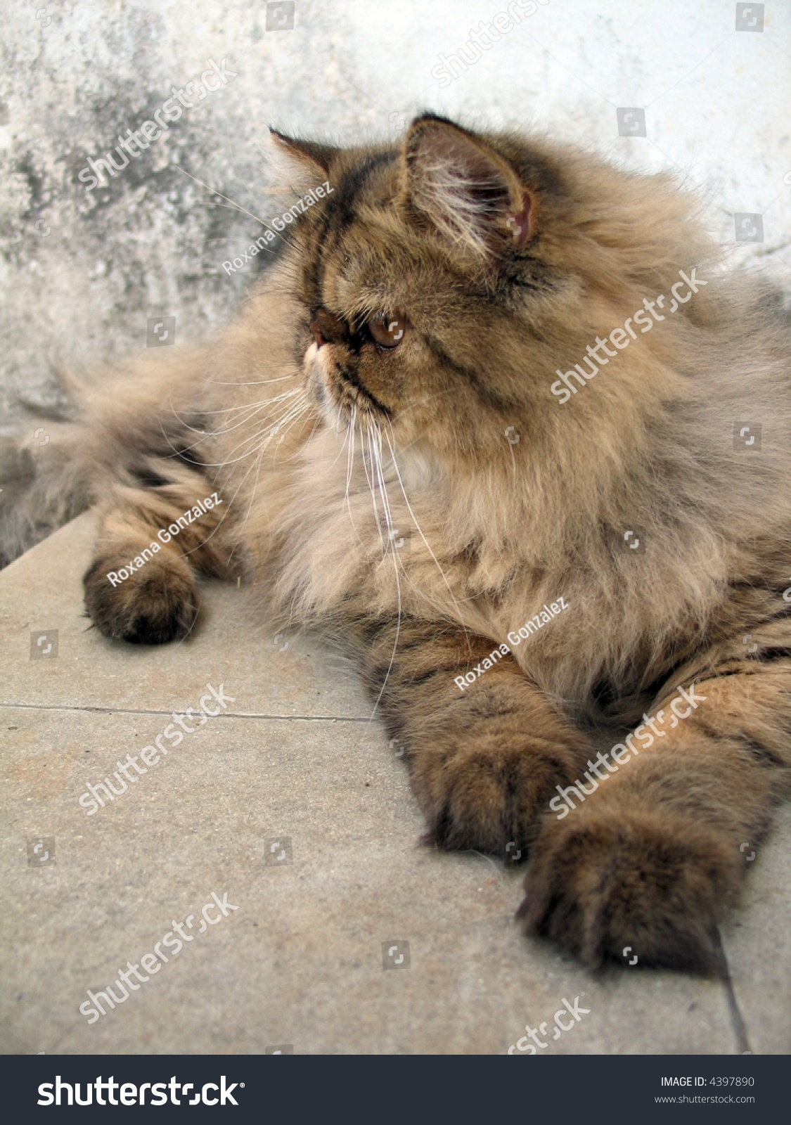 Portrait Brown Persian Tabby Cat Over Stock