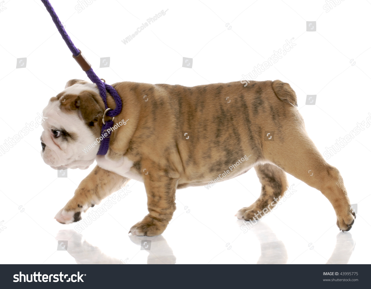 how to get a free bulldog puppy