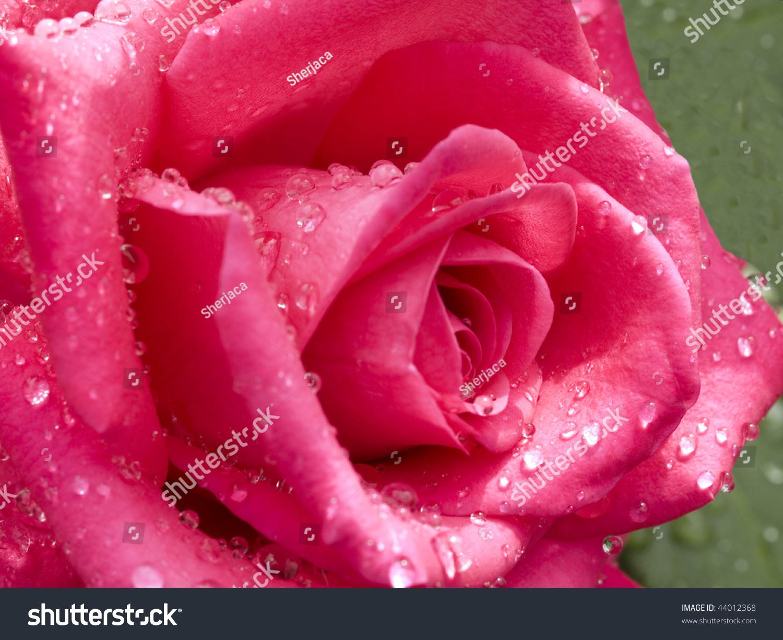 Beautiful Red Cerise Rose Flower Raindrops Stock Photo Edit Now