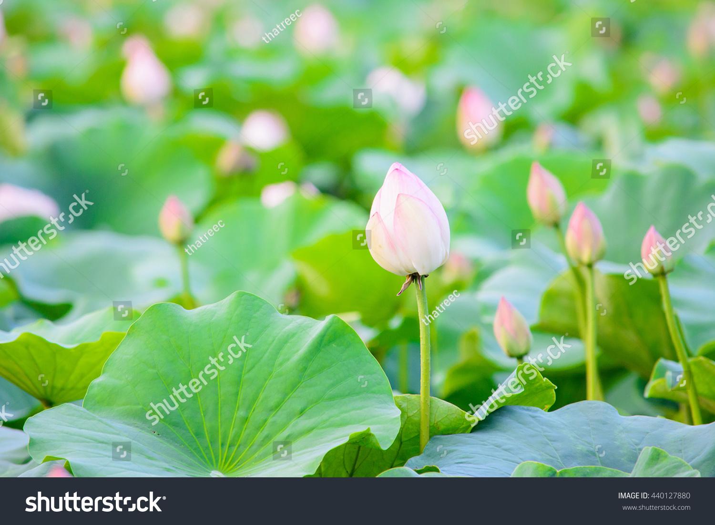 Lotus flowers pondlotus flower gardennatural conceptnatural stock lotus flowers in pondlotus flower gardennatural concepttural background concept izmirmasajfo