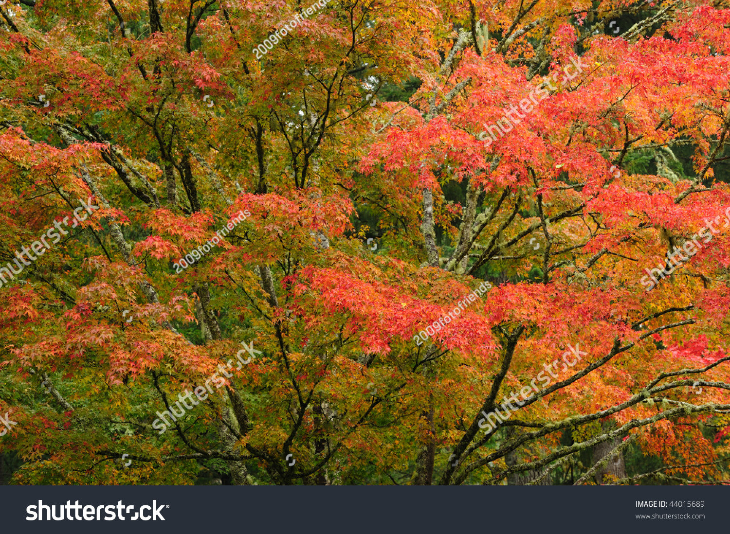 Beautiful maple leaves in the historic butchart gardens in autumn ...