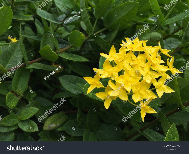 Little Yellow Flowers Rubiaceae Tree Jungle Stock Photo Edit Now