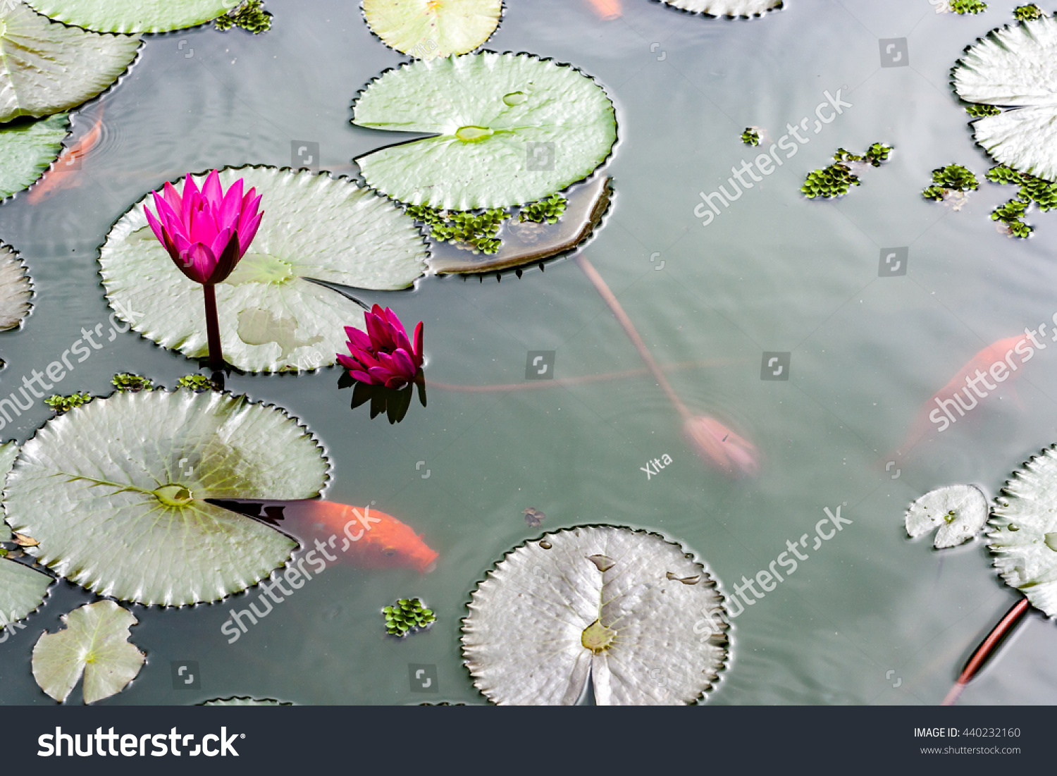 Gold Fish Pond Lily Pads Flowers Stock Photo Royalty Free