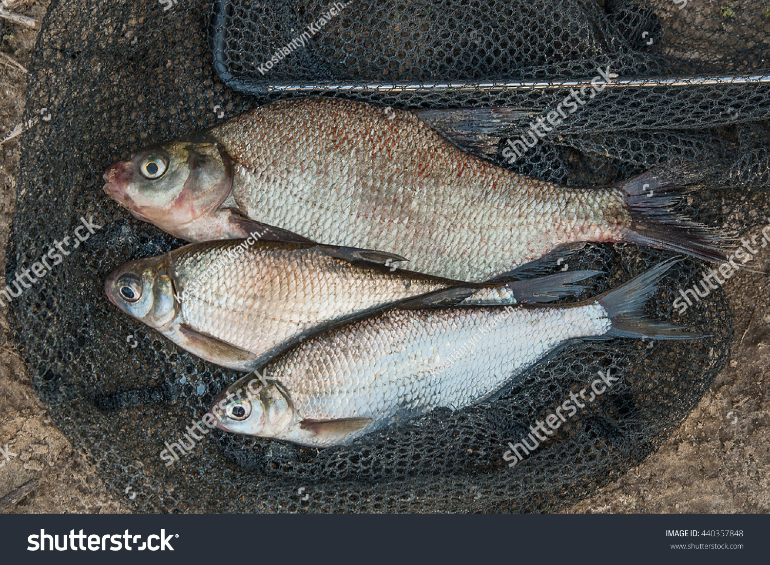 Freshwater fish bream - Freshwater Fish Just Taken From The Water Several Bream Fish And Silver Bream Or White
